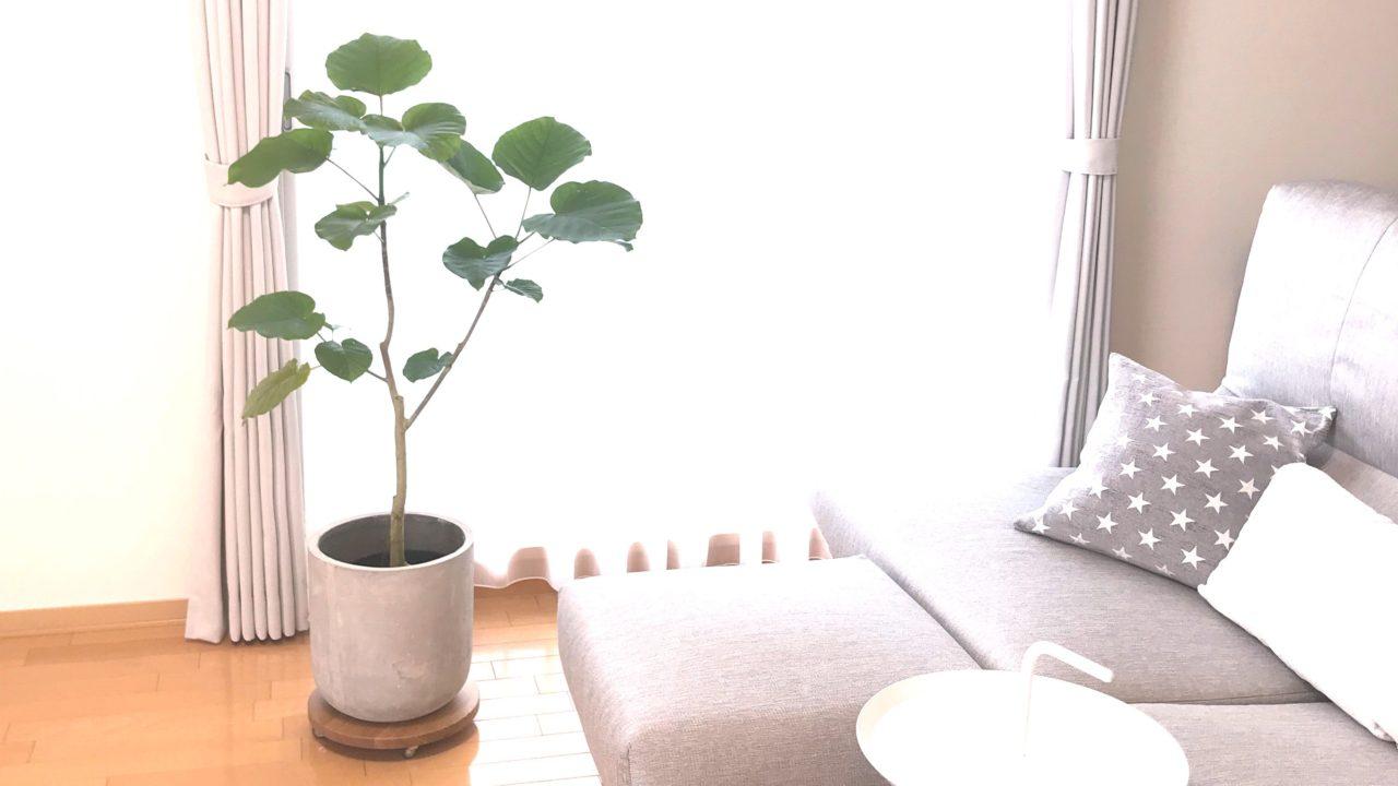 観葉植物のある生活 ウンベラータ  高野木工